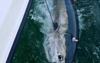 bluefin tuna fishing carolina beach