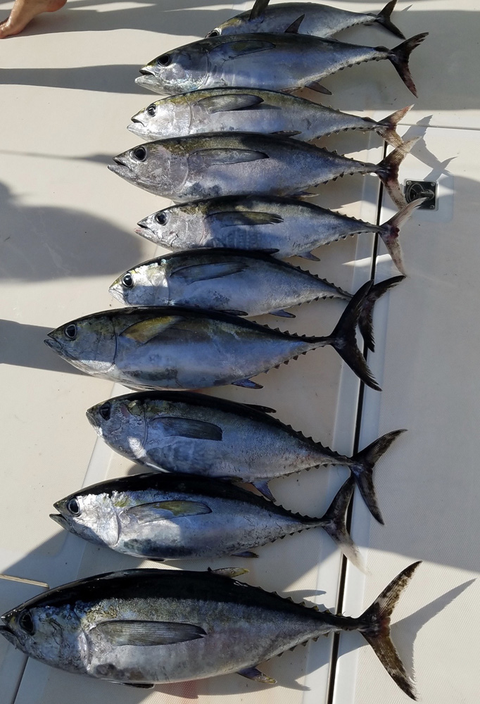 yellowfin tuna fishing carolina beach